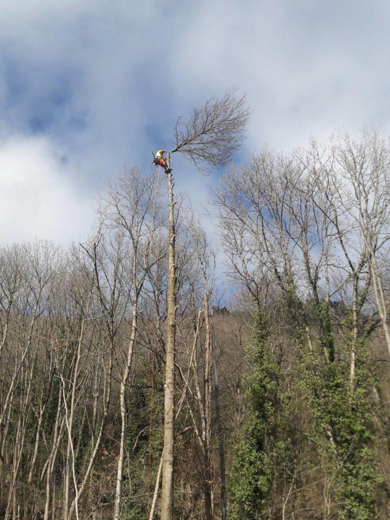 Démontage de la cime d'un Frêne à Prayols ariege