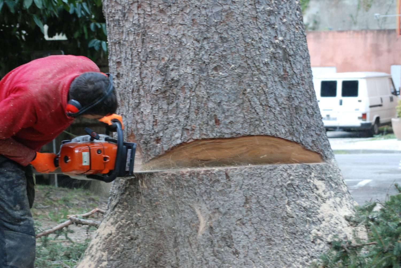 entaille sur tronc avant l'abattage un arbre