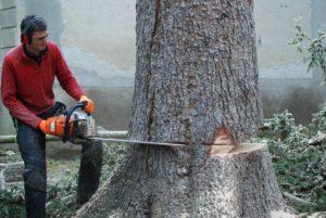 Abattage d'un épicéa dans le parc thermal d'Ussat les Bain en Ariège